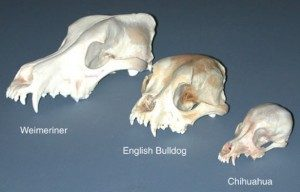 canine_skull_variation